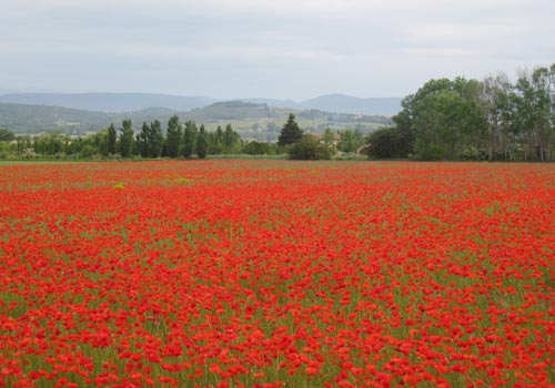 Poppies near Bonnieux