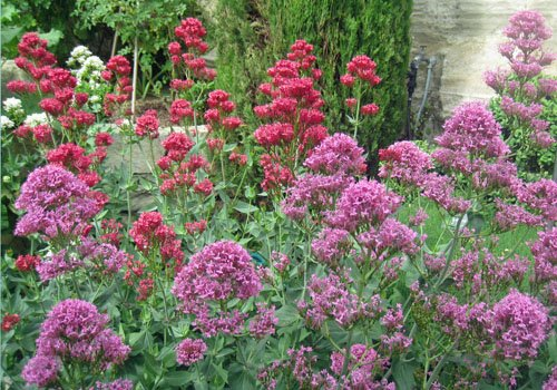 Valerian wildflowers at La Louve garden in Bonnieux