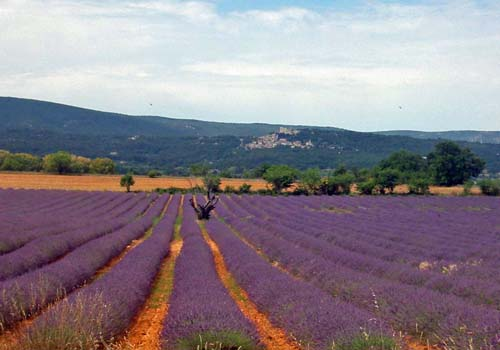Lavender fields below Bonnieux