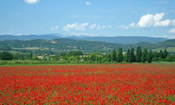Beautiful poppies near Bonnieux