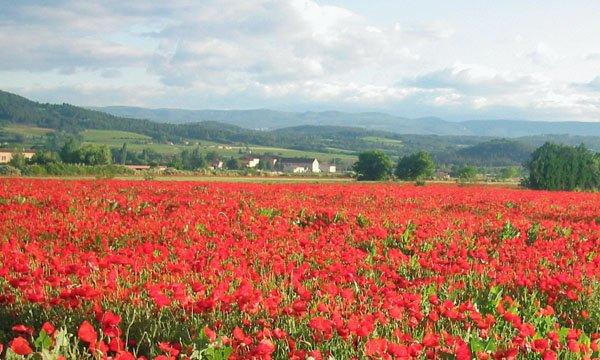 Poppies near Bonnieux
