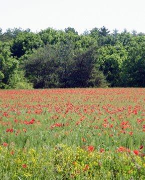 Roussillon poppy field