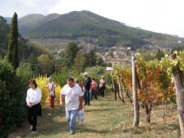 Vineyard at Alle Camelie