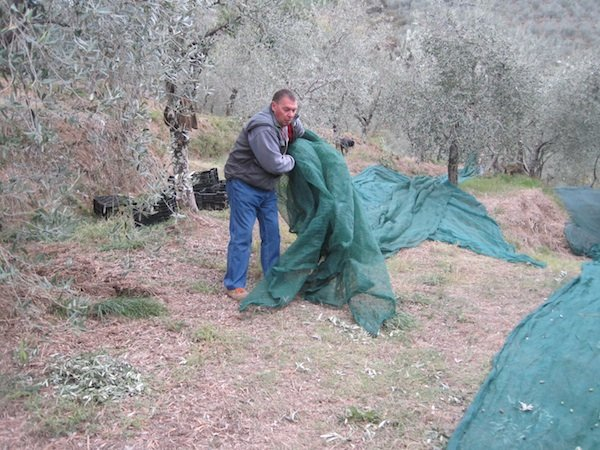Spreading nets under olive trees