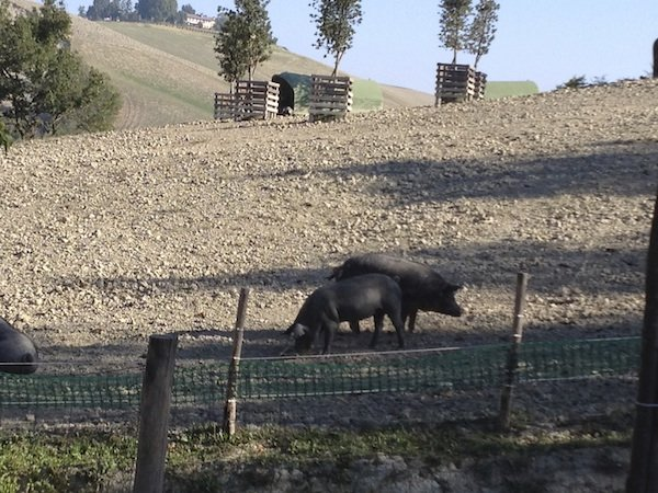 Black pig of Parma on the farm
