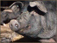 Black pig of Parma