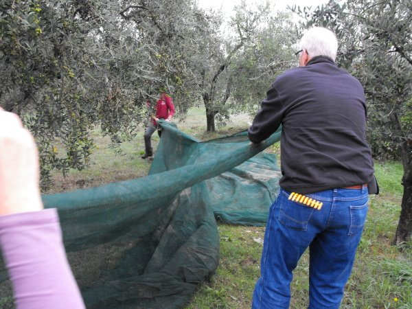 We spread nets to catch the olives