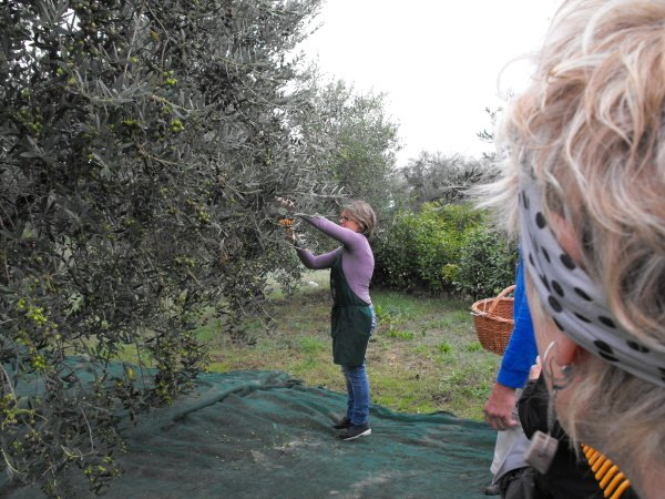 Rita demonstrates how to rake the olives onto nets
