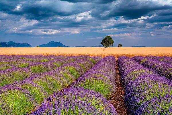 fields of lavender on the Valensole Plateau, Provence, France, photo by Jim Nilsen