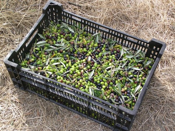 Olives ready to go to the press