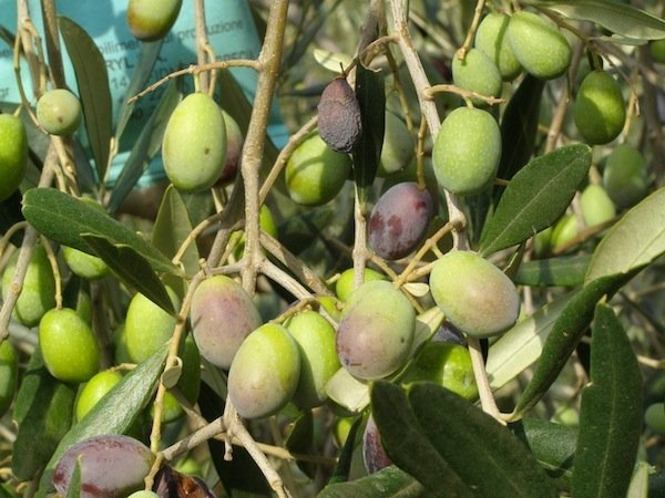 Olives ready for picking
