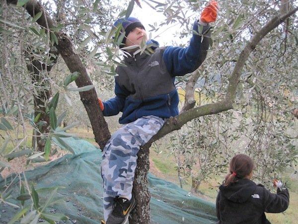 Picking olives at Camelie