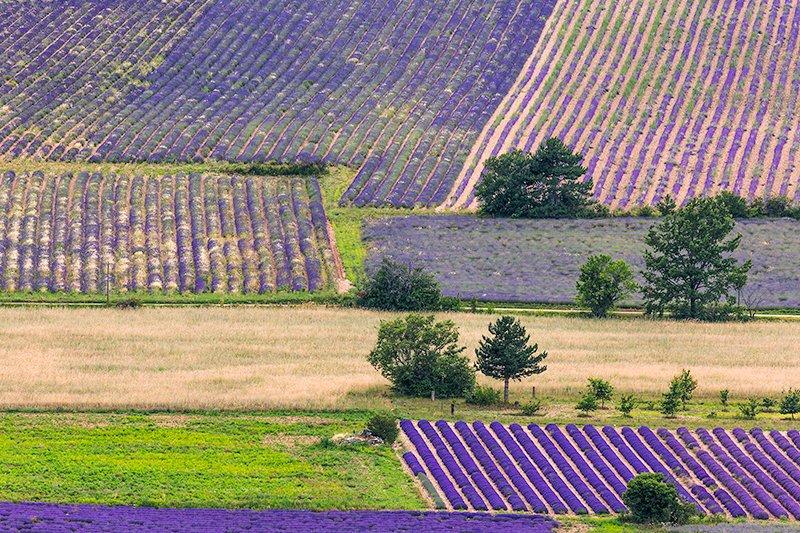 Lavender patchwork, Sault Plateau, Provence, France.