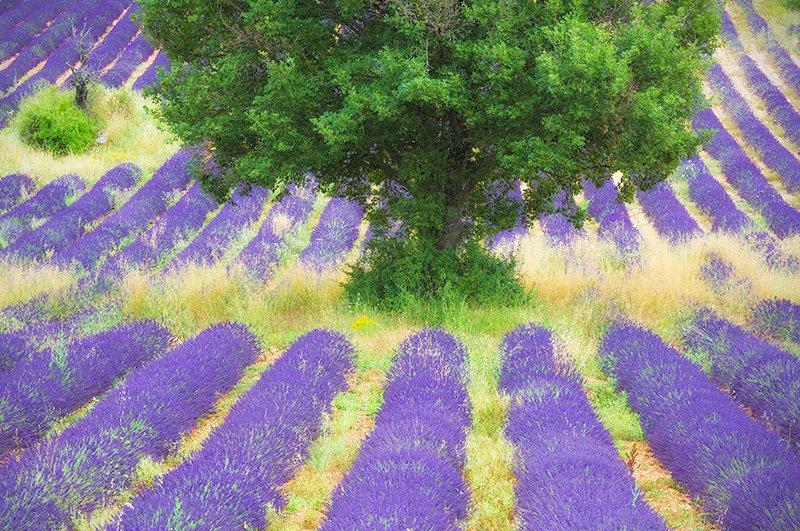 Lavender & tree, Sault Plateau, Provence, France.