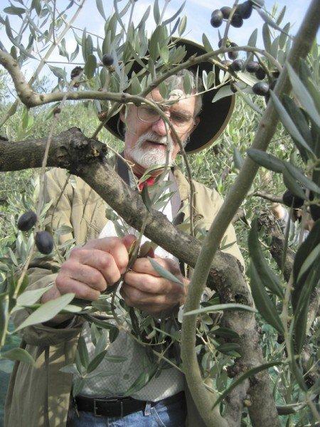 Olive harvest begins in mid-October
