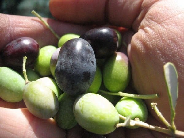 Good mix of mature and immature olives