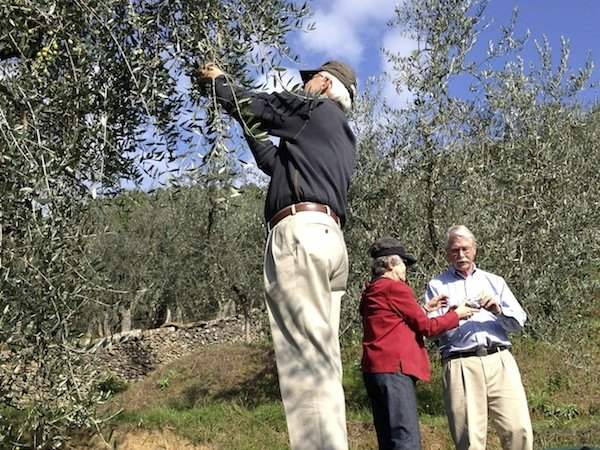 Harvesting olives under the Tuscan sun