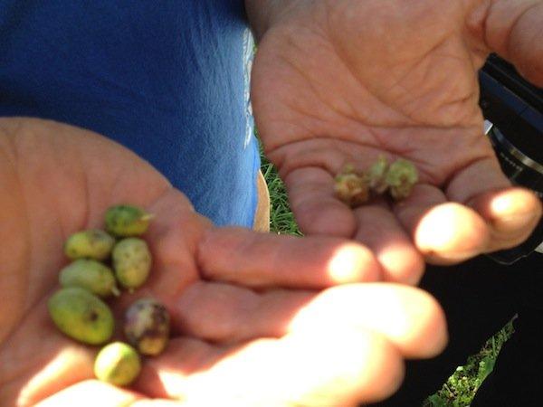 Sick olives