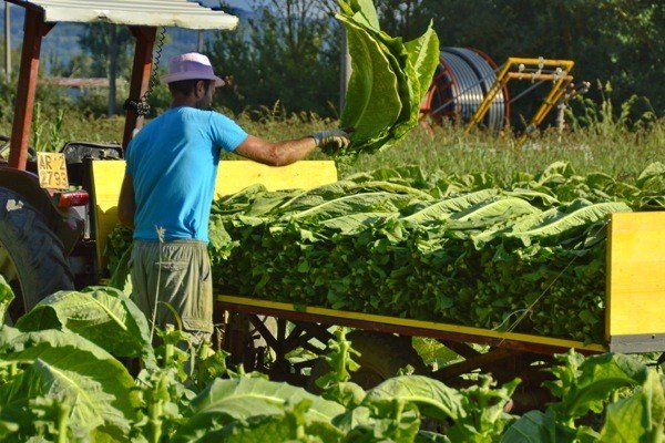 Tobacco is still harvested by hand.