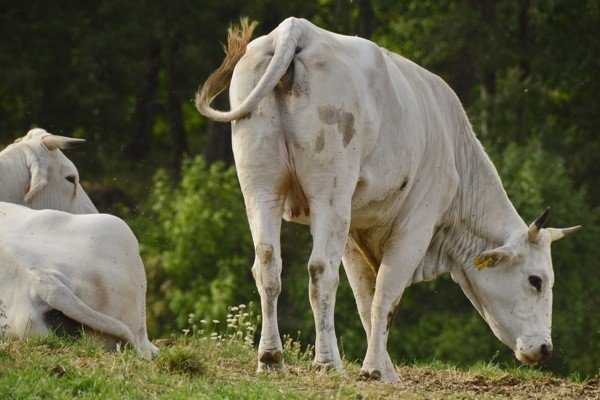 The white queen of cows