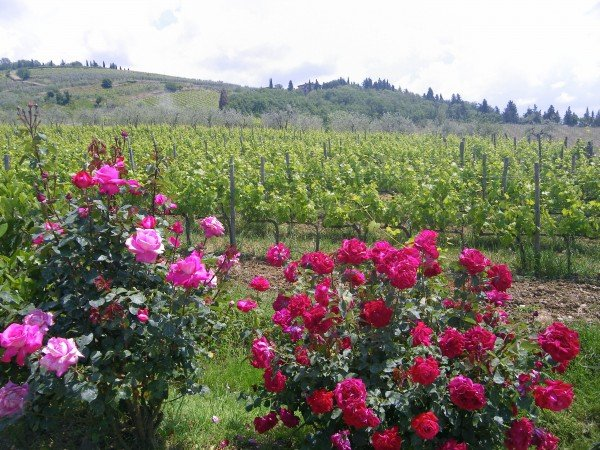 Roses are abundant at Vallone di Cecione