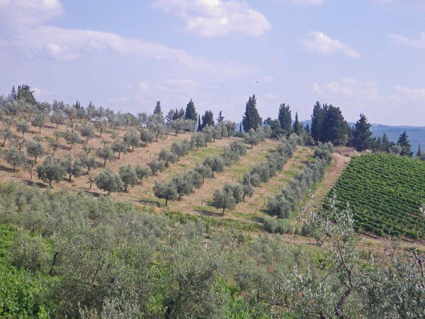 Olive trees at Vallone di Cecione