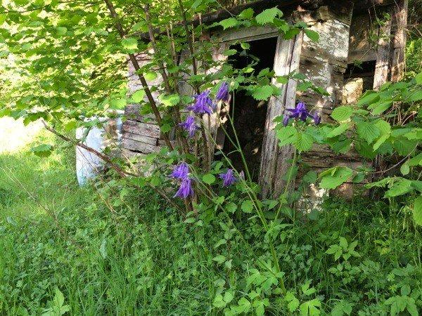Aquilegias brighten a tumbledown shed