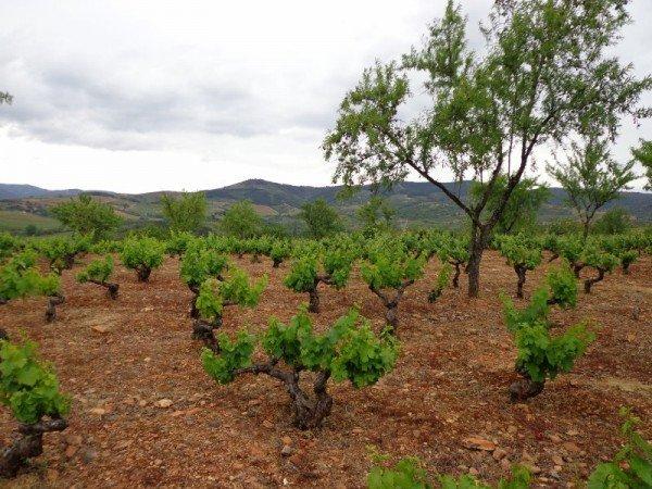 A vineyard in El Bierzo
