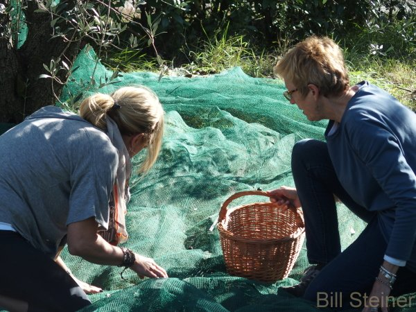 Gathering olives from the nets