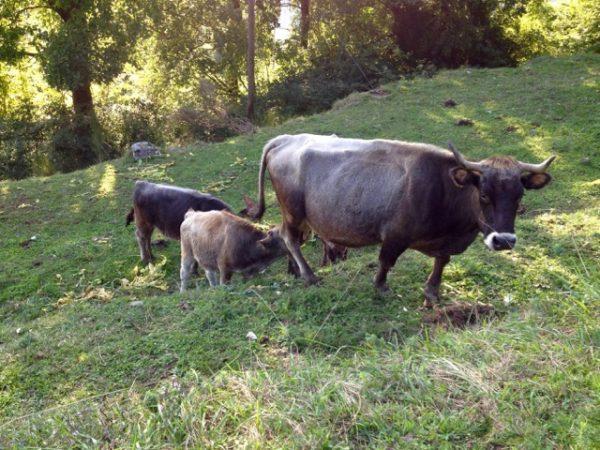 Vacca Garfagnina