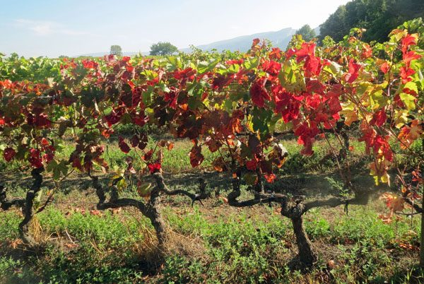 Autumn vineyards in the Luberon