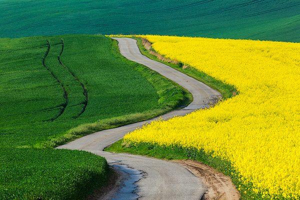 wheat and canola fields moravia czech republic