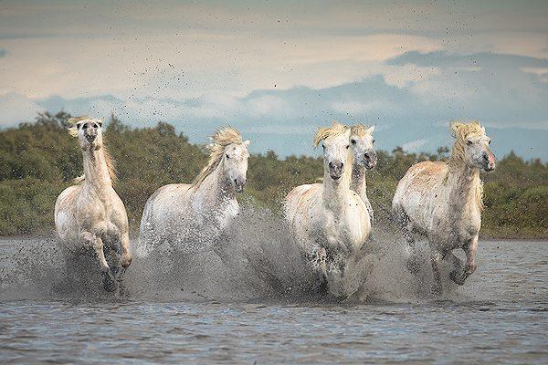 Camargue white horses running, Provence, France