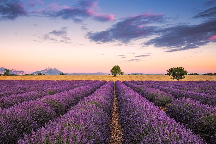 lavender, tree, valensole, provence, France