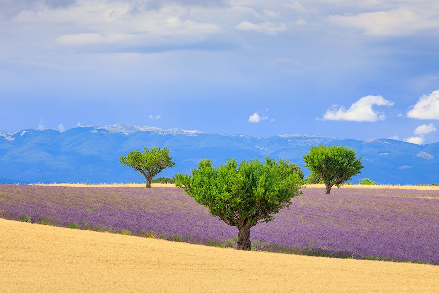 trees, lavender,valensole Plateau, Provence,France