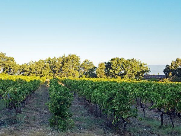 Bonnieux vineyard
