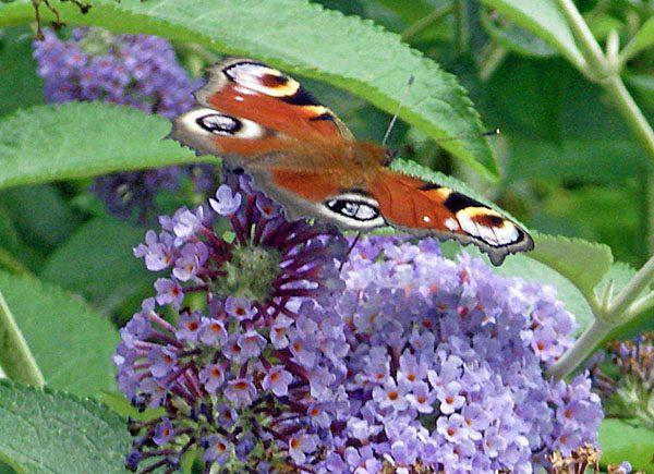 Butteryfly at Kiftsgate