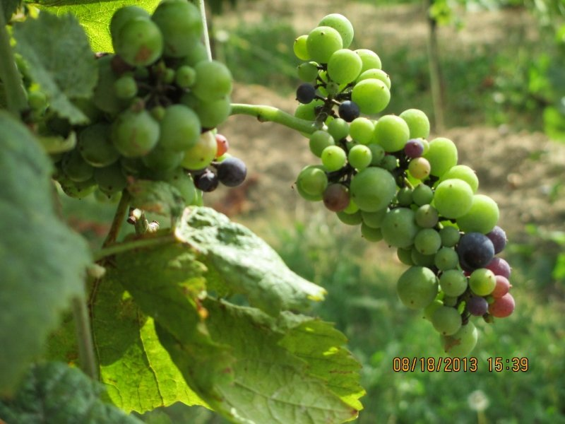 Ripening grapes on vine in Lower Silesia region of Poland.