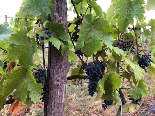 Winobranie - Wine Harvest Festival in Zielona Gora, Lubuskie region of Poland