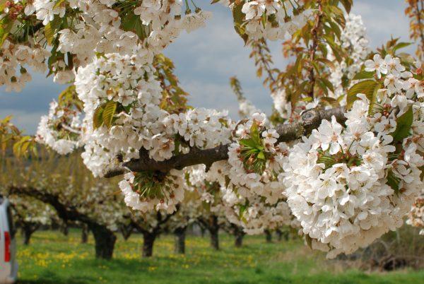 Cherry Blossom at Irancy