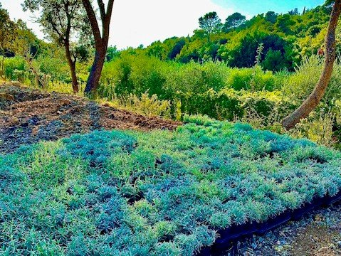 Cook in Tuscany lavender