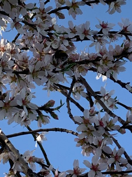Busy bee in almond tree