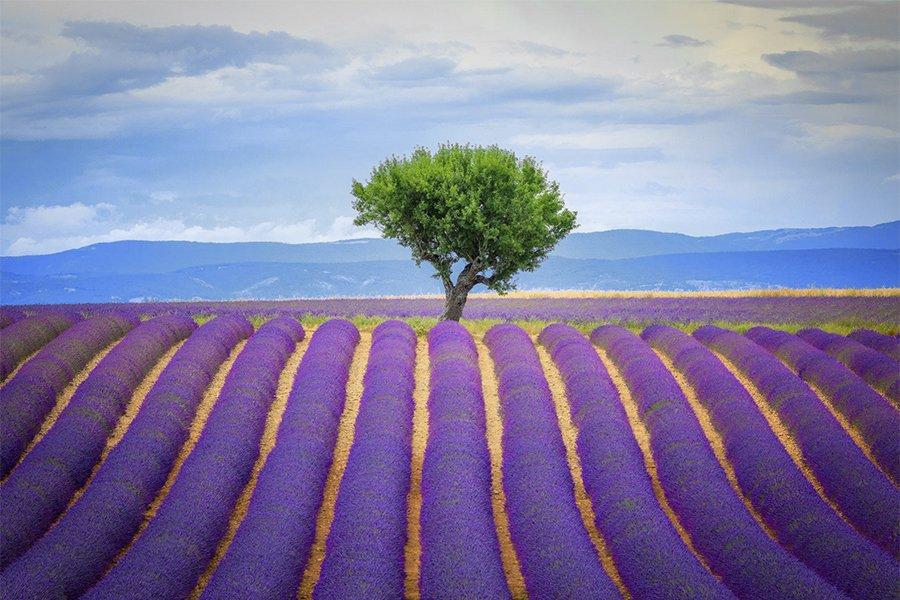 France_lavendar and tree