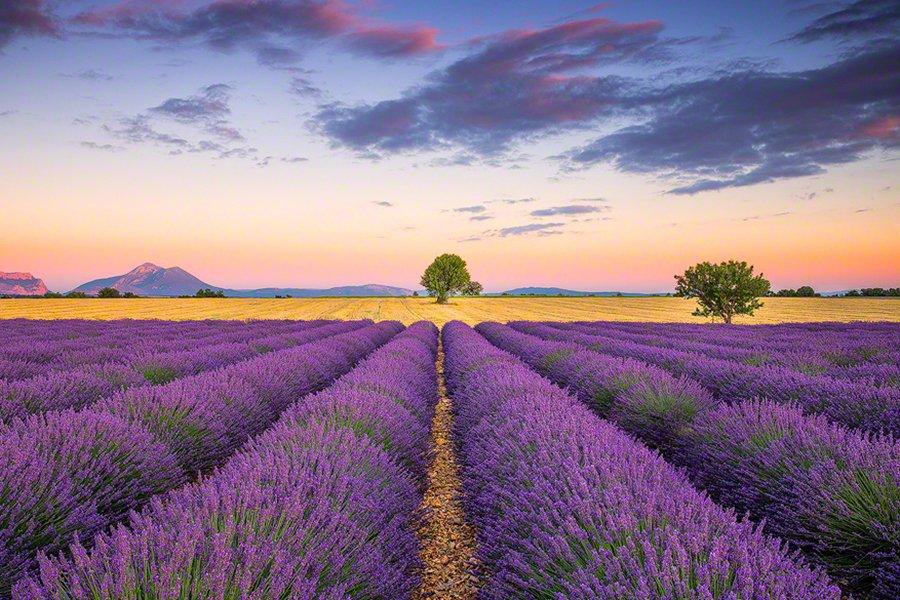 Lavendar Field_Provence_France
