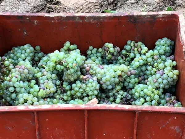 Fall harvest grapes at Adoria Vineyards in Lower Silesia region of Poland