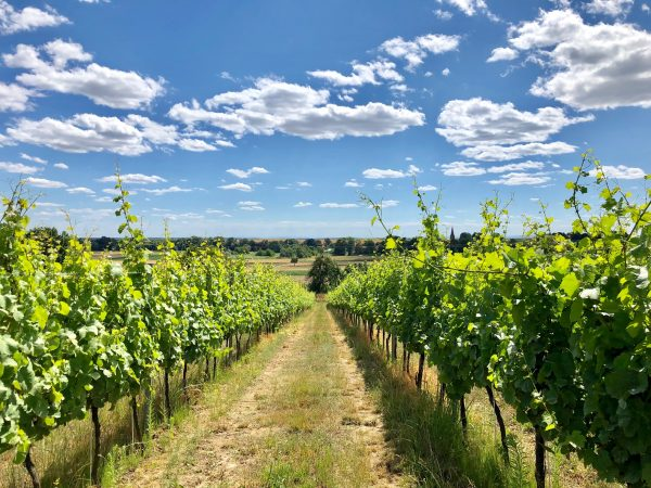Moderna Vineyard on a sunny summer day